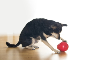 2016-03-Hund-Jack-Futterspiel-Kong-Wobbler-IMG_4345-c-PETA-D.jpg